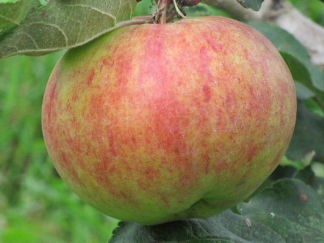 Полосатое яблоко с зеленой покровной окраской сорта Грушовка Московская