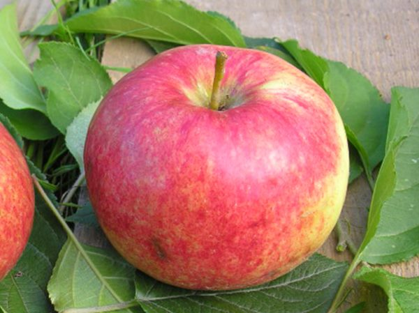 Розово-жёлтый плод яблони селекционного сорта Красная скороспелка