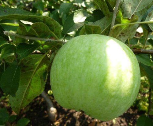 Плод яблони Ренет Симиренко с плотной кожицей зеленого окраса
