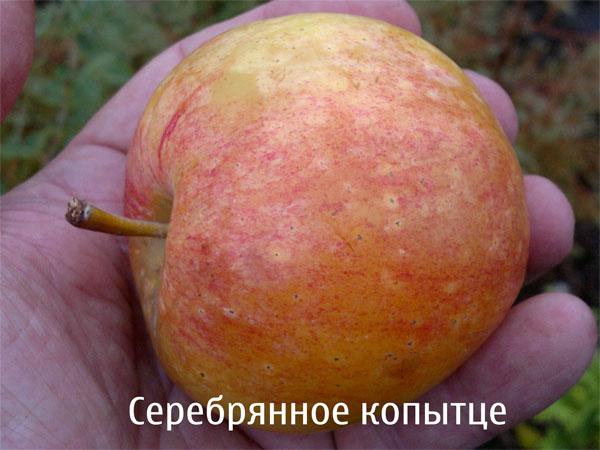 Переспелое яблоко сорта Серебряное копытце свердловской селекции