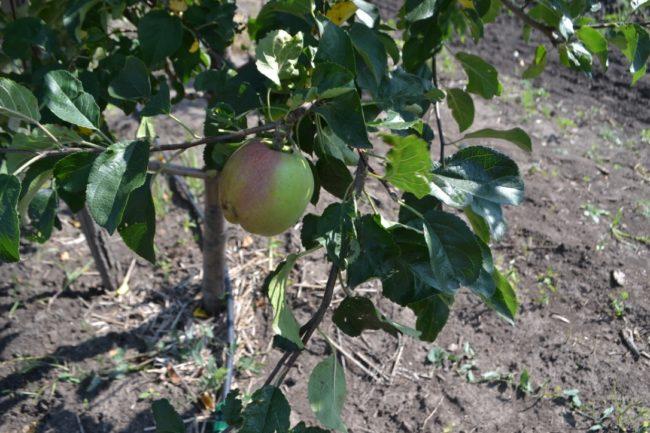 Первый плод на молодой яблоне гибридного сорта Северный Синап