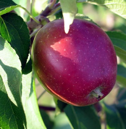 Красно-бардовое яблоко белорусского сорта Коваленковское на солнечной стороне дерева