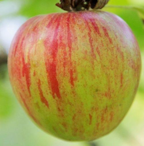 Крупный плод зеленого цвета с розовыми полосами яблони сорта Коваленковское