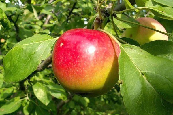 Спелое яблоко с аккуратным боковым румянцем на ветке дерева сорта Квинти