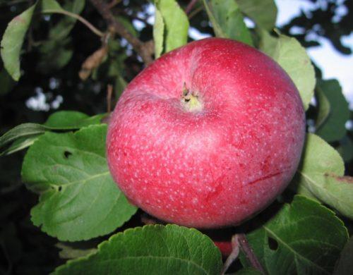 Большое красно-розовое яблоко сорта Лобо на ветке взрослого дерева