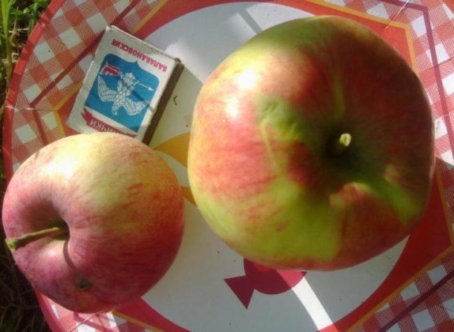 Два разных по размеру яблока гибридного сорта Мельба и спичечный коробок