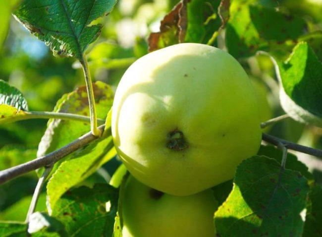 Зеленоватый плод с легкой ребристостью на ветке яблони сорта Папировка