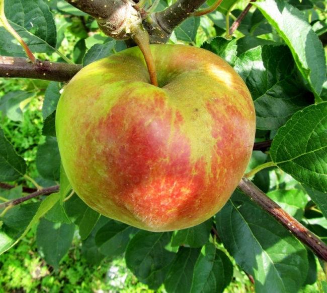 Крупное яблоко сорта Салгирское с кожицей красно-зеленого цвета