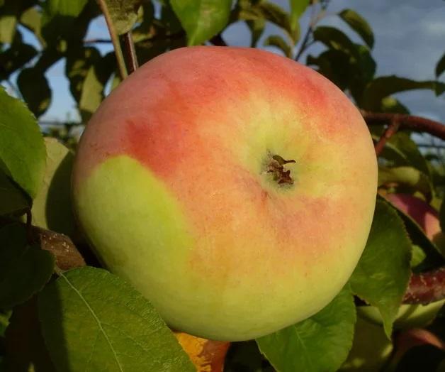 Розовый румянец на зеленом яблоке сорта Символ, выращенного в саду Башкирии