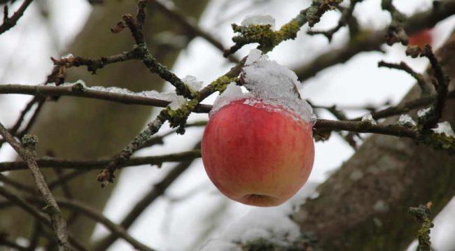 Яблоко висит на ветке покрытое снегом