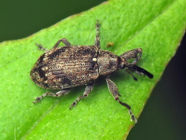 Небольшой черный жук-долгоносик на зеленом листе садовой яблони