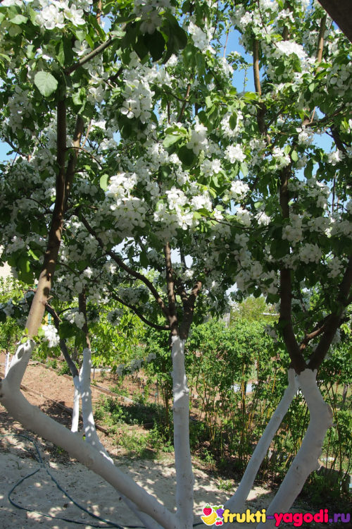 Несколько яблонь в период цветения