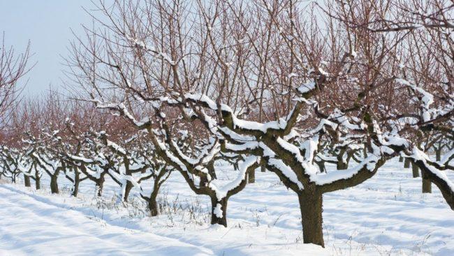 Яблони посаженные в ряд припорошены снегом в зимний период