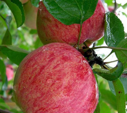 Два спелых яблока на ветке дерева сорта Анис розово-полосатый