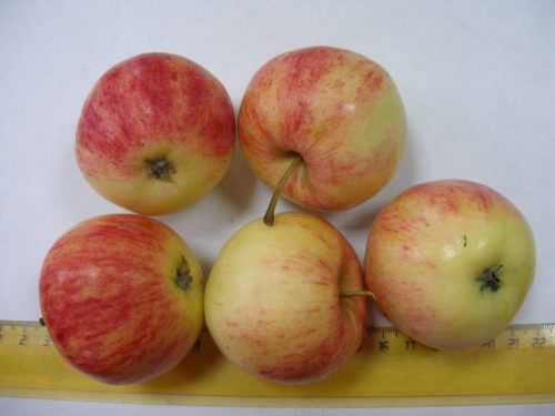 Спелые плоды крупного размера сорта Анис полосатый