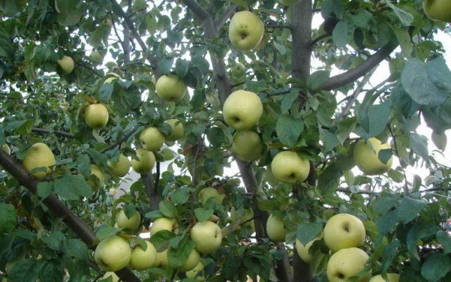 Желто-зелены яблоки на взрослом дереве сорта Антоновка обыкновенная