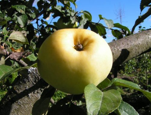Крупный плод желтого окраса на ветке сорта Антоновка обыкновенная