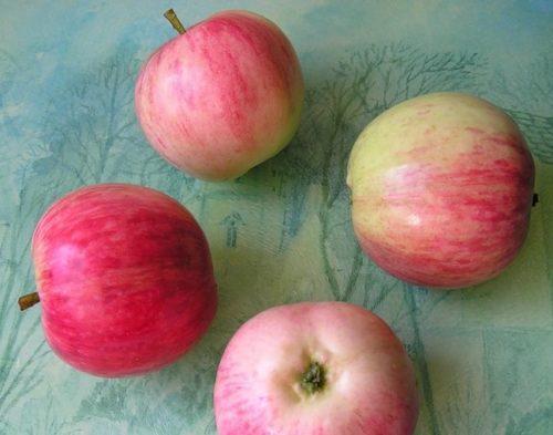 Внешний вид созревших плодов гибридной яблони сорта Башкирский красавец