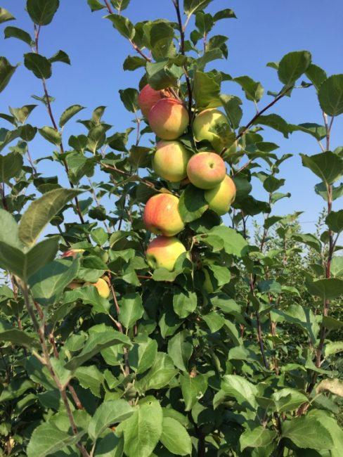 Ветка яблони сорта Башкирское зимнее с плодами размытой зеленовато-розовой окраски