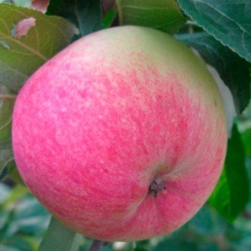 Полосатый румянец розового цвета на спелом яблоке сорта Московская Грушовка