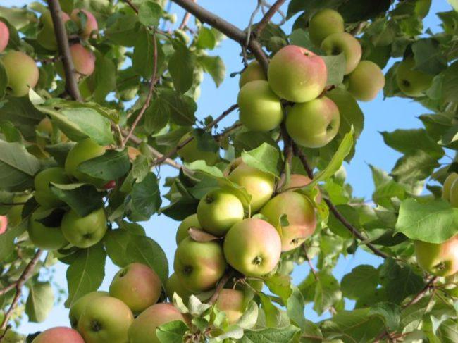 Розово-зеленые плоды на ветках гибридного сорта яблони Исетское позднее