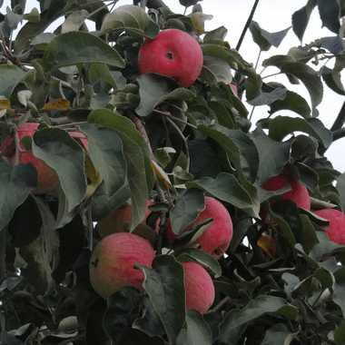 Красные яблоки в кроне взрослого дерева сорта Кибо позднего срока созревания