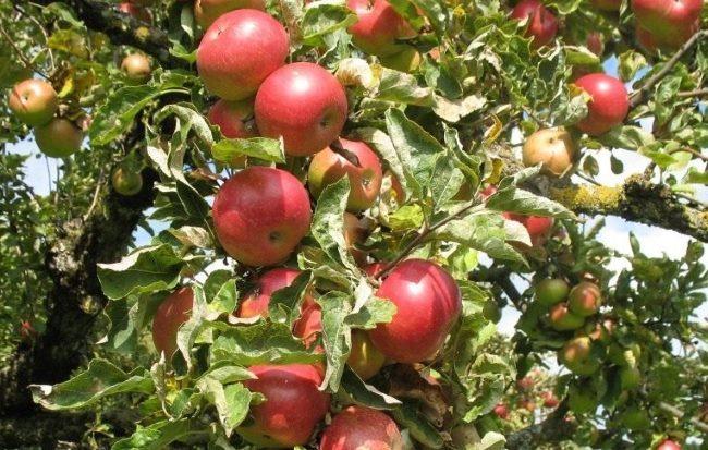 Спелые плоды на ветках яблони сорта Красное алое в саду Поволжья
