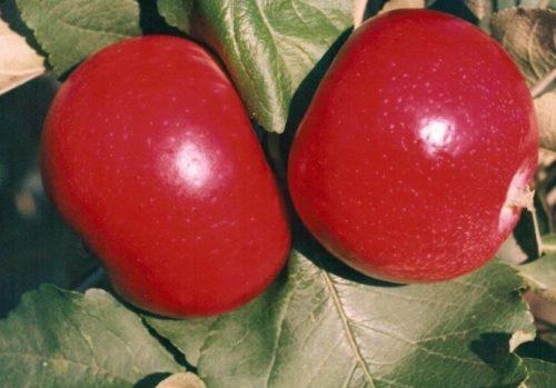 Яркая окраска спелых яблок гибридного сорта Квинти
