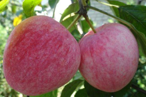 Два спелых яблока сорта Летнее полосатое раннего срока созревания