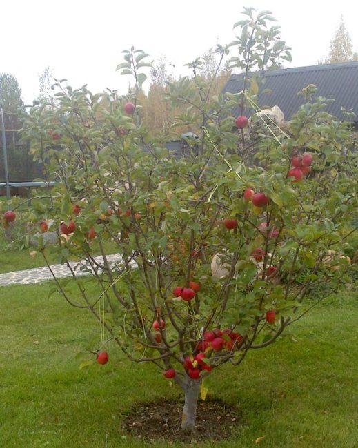 Небольшая яблонька на карликовом подвое в саду Ярославской области