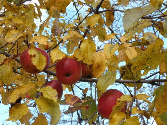 Спелые красные яблоки на плодовом дереве с желтыми листьями