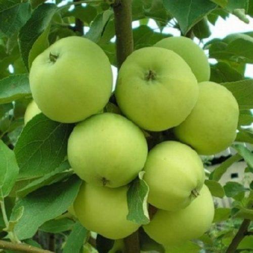 Зеленоватые яблоки сорта Папировка прибалтийской селекции