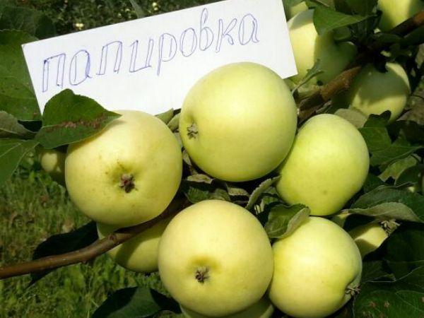 Желто-зеленые плоды яблони сорта Алебастровое прибалтийской селекции