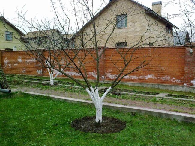 Взрослые деревья яблонь в период после схода снега ранней весной