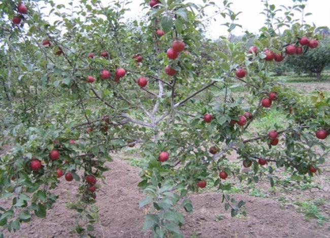 Яблоня небольшого размера с красными яблоками в саду Ярославской области