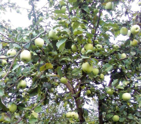 Ветки яблони с зелеными плодами гибридного сорта Синап Орловский