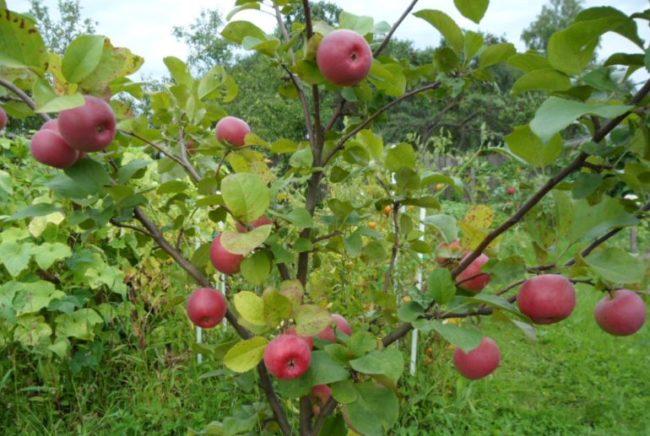Первые яблоки красно-бардового окраса на ветках молодой яблони сорта Ауксис