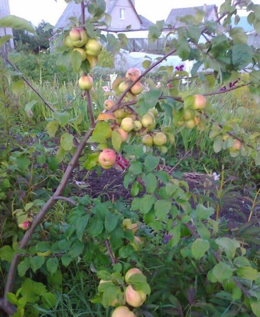 Ветки молодой яблони сорта Братчуд с плодами розово-зеленого окраса