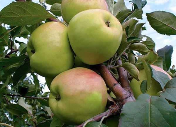 Розово-зеленые яблоки селекционного сорта Братчуд с небольшой ребристостью