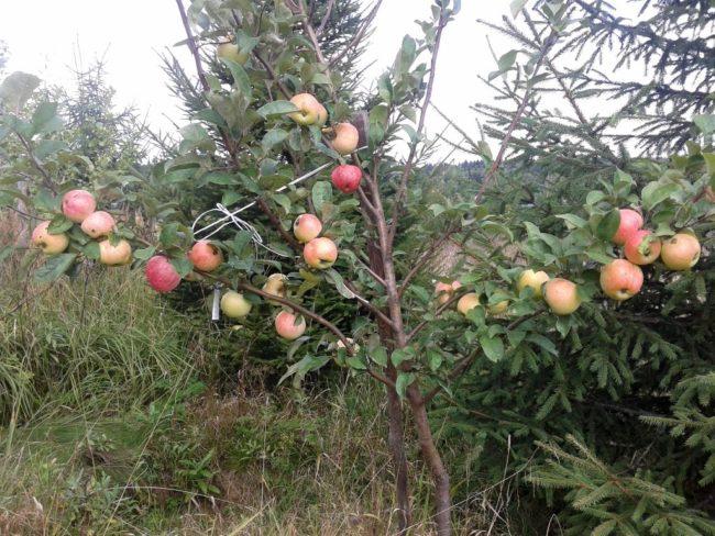 Трехлетнее деревце яблони гибридного сорта Конфетное с первыми плодами