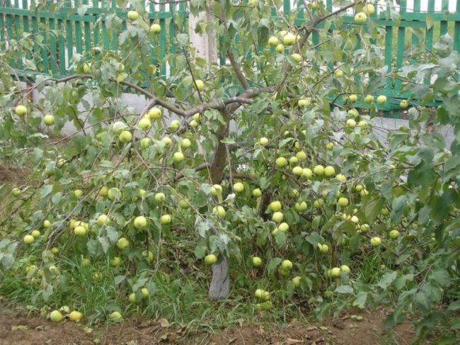 Небольшая яблонька с зеленоватыми яблоками сорта Копейское