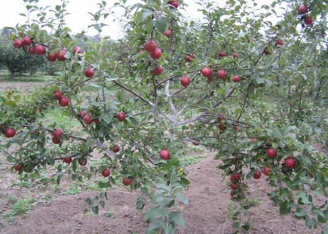 Раскидистые ветки с красными плодами на взрослой яблоне сорта Коваленковское