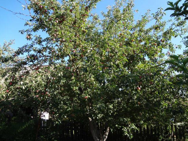 Дерево яблони канадского сорта Мельба в возрасте пятнадцати лет