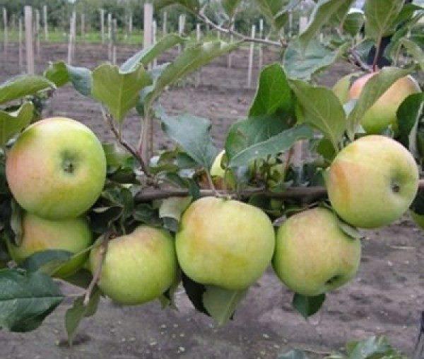 Ветка карликовой яблони сорта Подснежник с зеленоватыми плодами