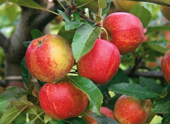 Красный румянец на кожице яблок гибридного сорта Приземленное