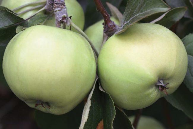 Два яблока с небольшой ребристостью на карликовом дереве сорта Свердловчанин