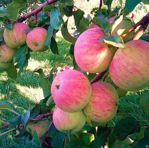 Полосатые плоды на ветках яблони сорта зимнего срока созревания Спартак