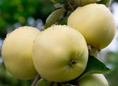 Красивые яблоки с капельками росы популярного сорта Уральское наливное