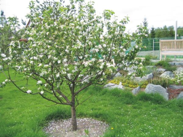 Четырехлетнее дерево яблони с цветками на ветках в саду частного загородного участка