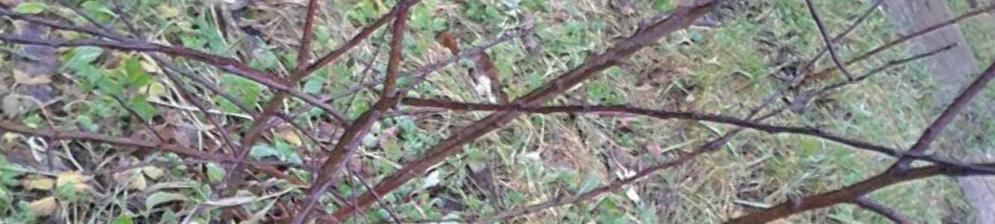 Нарушение формирования листвы у яблони не саженец